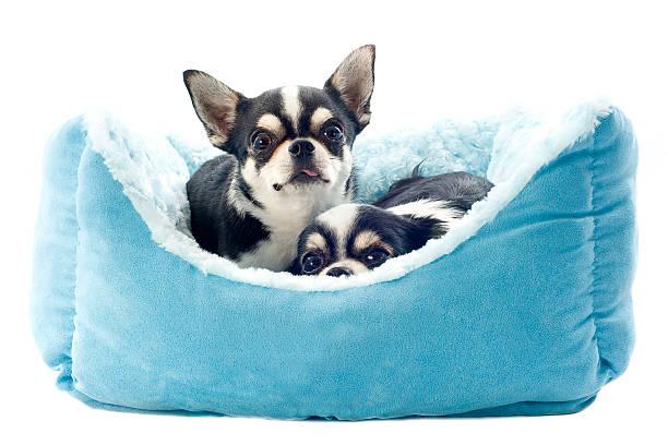 chihuahuas und hund-bett - katzen kissen stock-fotos und bilder