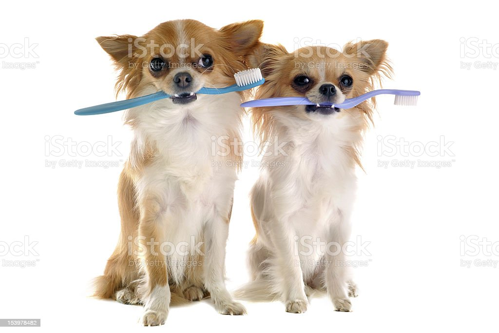 chihuahuas and toothbrush stock photo