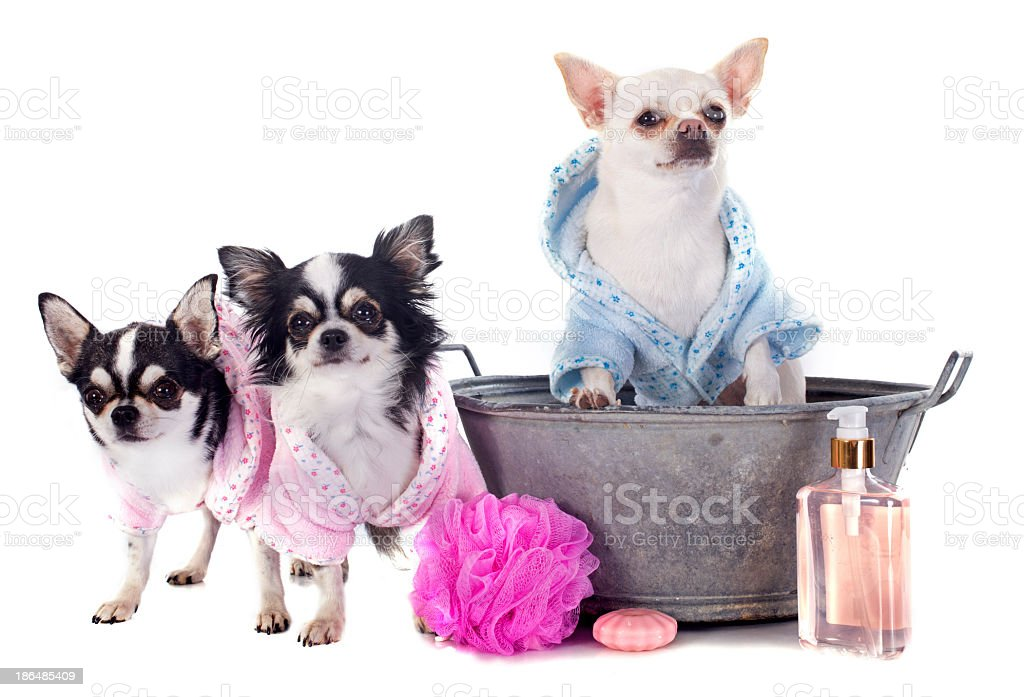 Chihuahuas dressed up and ready for bath time royalty-free stock photo