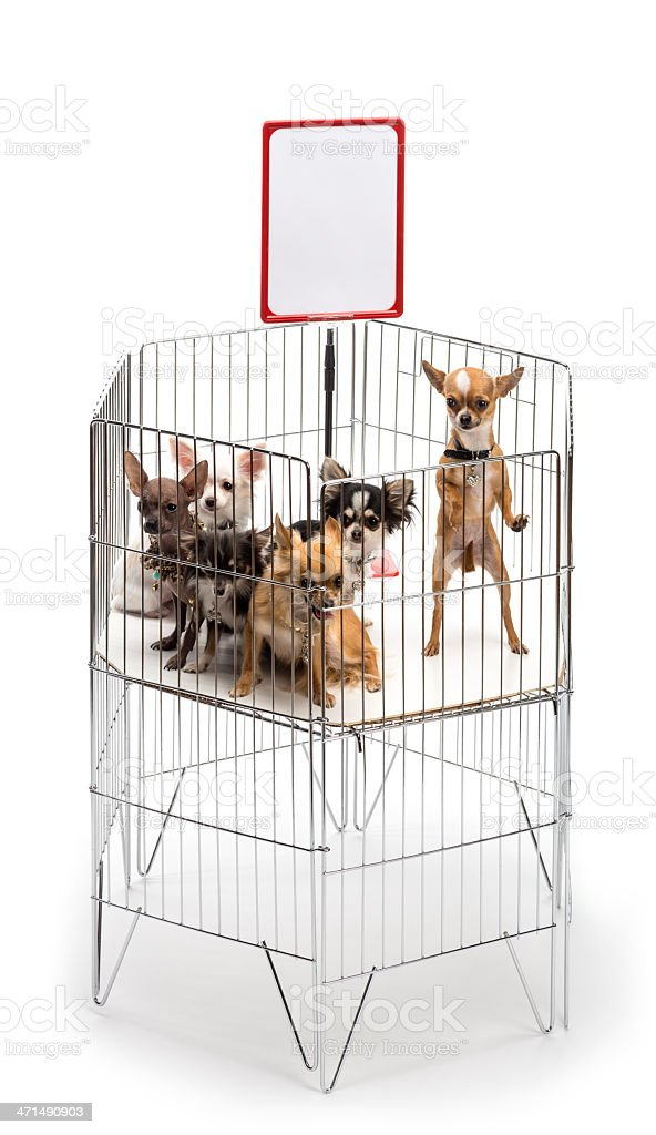 Chihuahuas in cage with white board stock photo