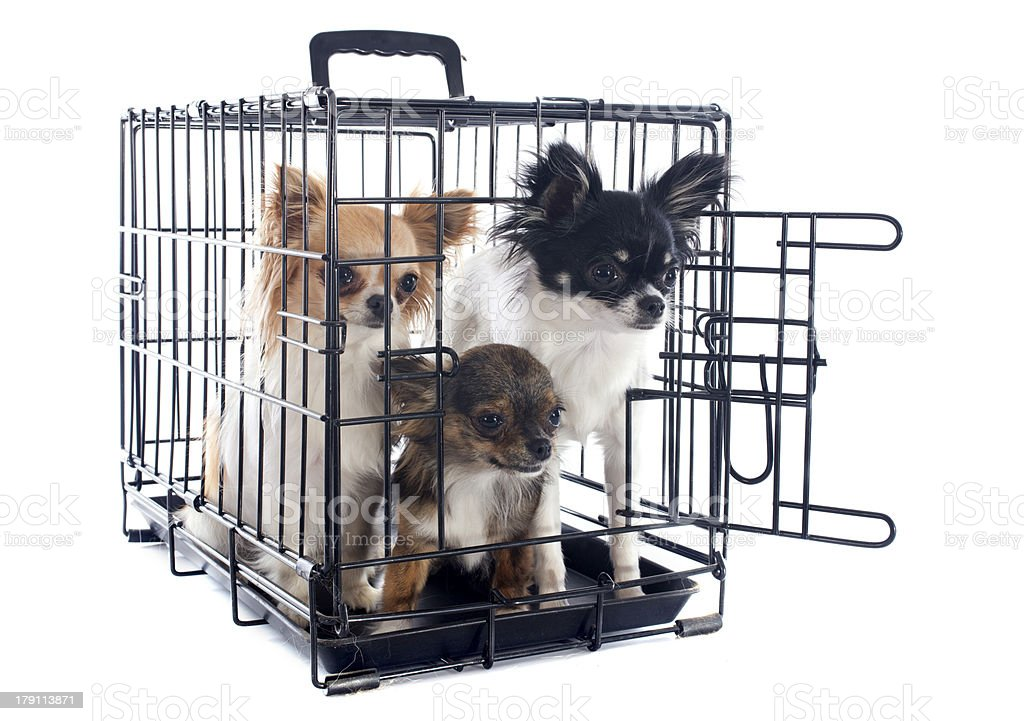 chihuahuas in kennel royalty-free stock photo