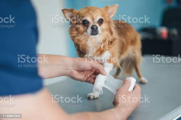 Chihuahuas injured leg picture id1140842342?b=1&k=6&m=1140842342&s=612x612&h=4cwkejhkhmlimhzc49p6nvangwyxhn9drorokef1bga=