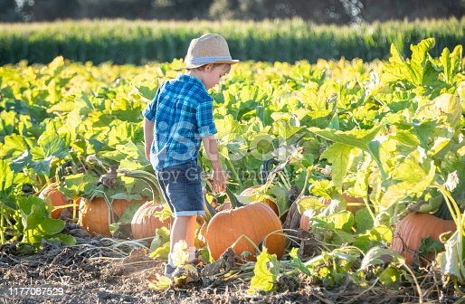Caucasian Child boy picking up a pumpkin