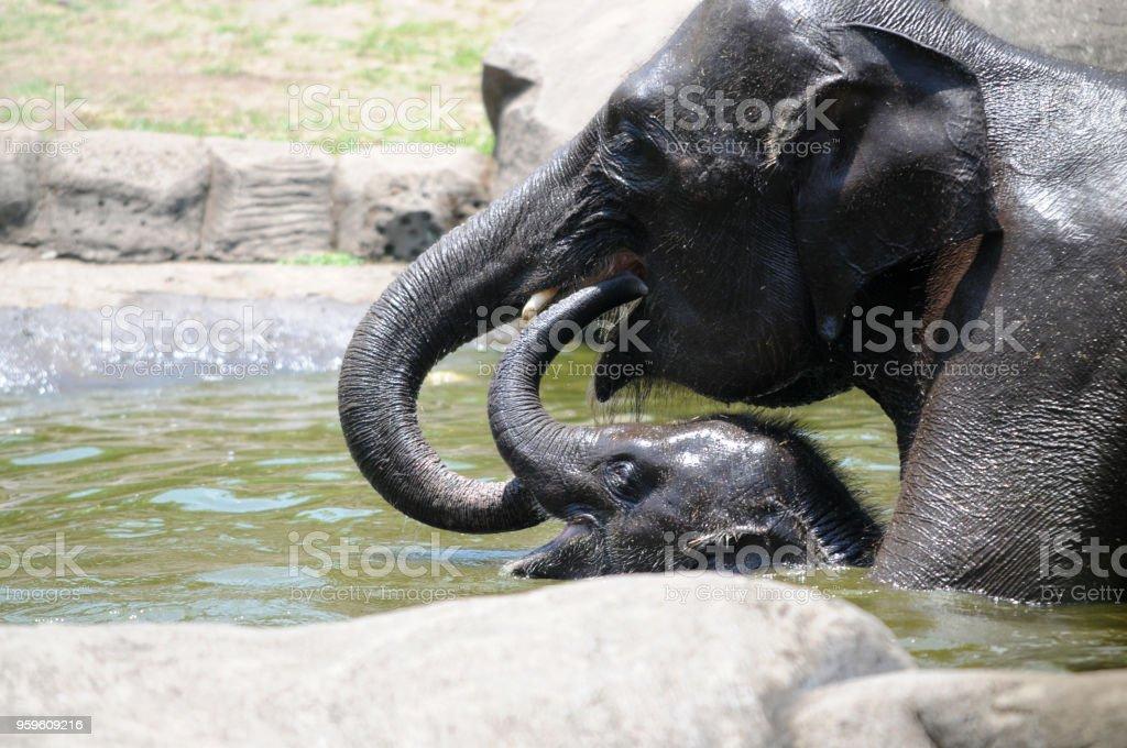Elefante de criança e a mãe tomar banho na piscina - foto de acervo