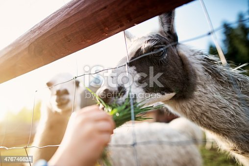 Child hand feeding grass to alpaca through the fence. Sun flare and part of clear blue sky visible. Second alpaca in the background.