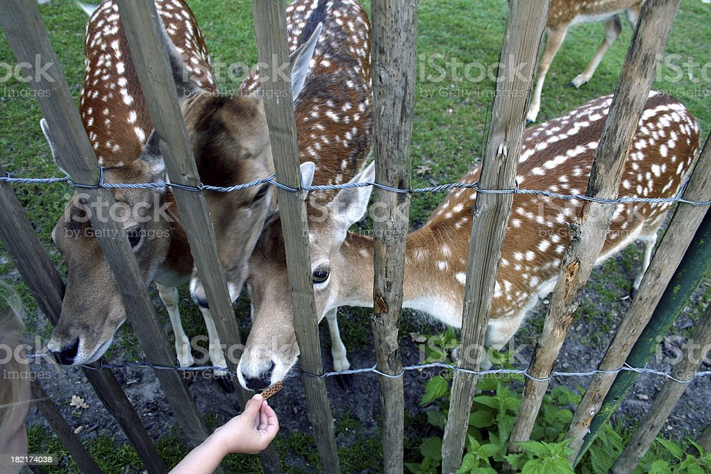child feeding deer stock photo