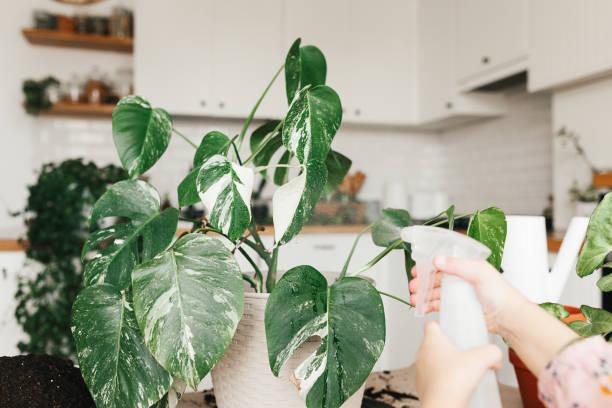 Kind Mädchen spray mit Wasser eine monstera Zimmerpflanze – Foto