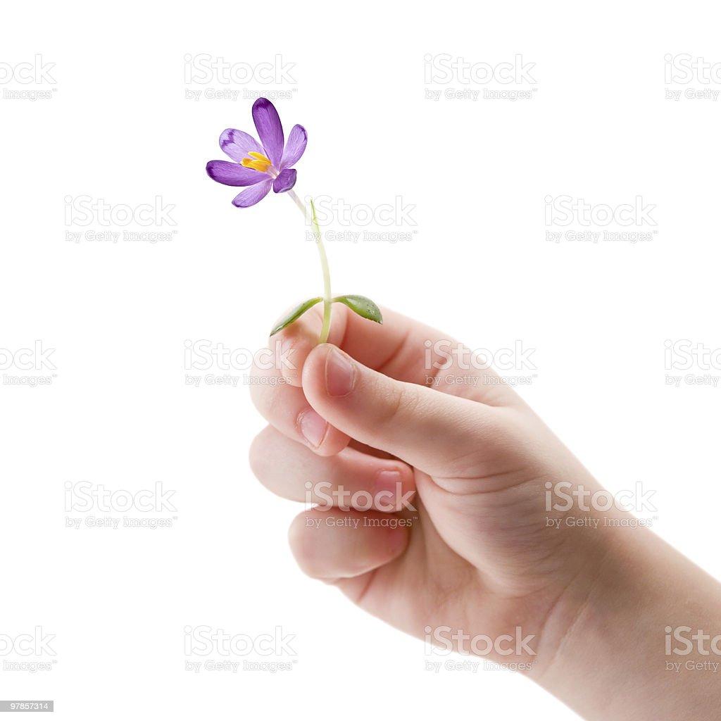 Child hand holding a little crocus flower stock photo
