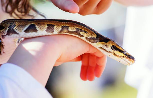 kinderhand hält schlange boa - vorschulzoothema stock-fotos und bilder