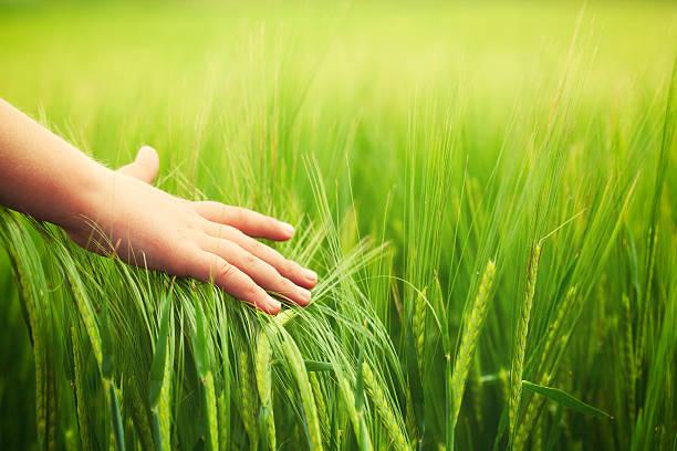 Kind hand in wheat field – Foto
