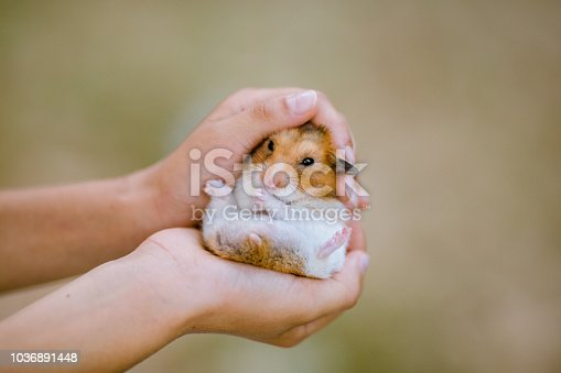 Photo of child hands holding a dwarf hamster. Mouse is a fluffy and sitting in kids hand. Hamsters eyes are open. Background is nature and blurred, bokeh. Focus on guinea pig. Close-up, macro-photography. Girl is Caucasian, white. Hands and arms are gentle and little, protecting the animal, securing hamster's welfare. Mouse is white and brown, very cute, seems friendly. Domesticated animal. Safety, bonding, pet love.