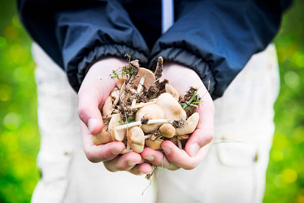 Child Hands Holding Edible Mushrooms Child Hands Holding Freshly Picked Edible Mushrooms from the Forest foraging stock pictures, royalty-free photos & images