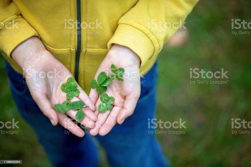Child hands holding lucky four leaf clover. Boy have many four leaf...