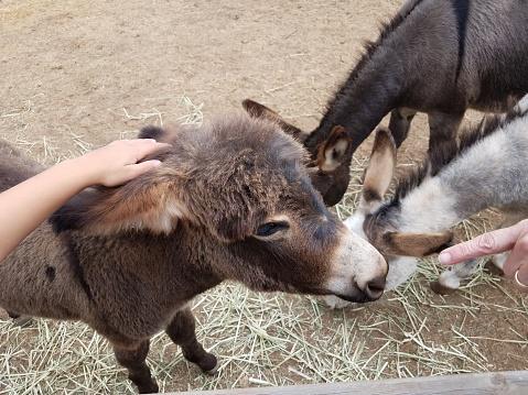 child hands petting brown hair donkey animal