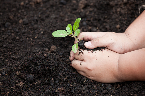 486530452 istock photo Child hands planting young tree on black soil 847043438