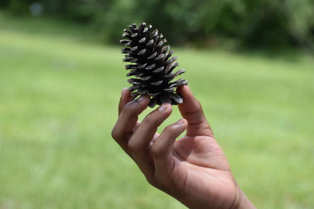 Child Holding A Pine cone stock photo