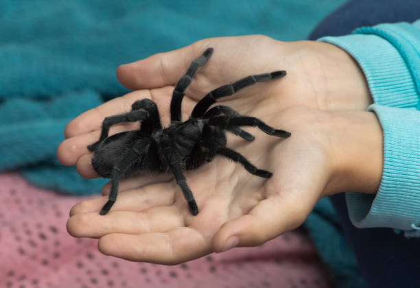 Child holding a tarantula stock photo