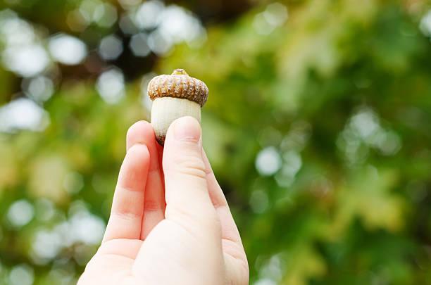 Child Holding Acorn stock photo