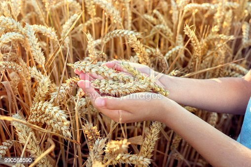 Child holding crop in his hand from a wheat field