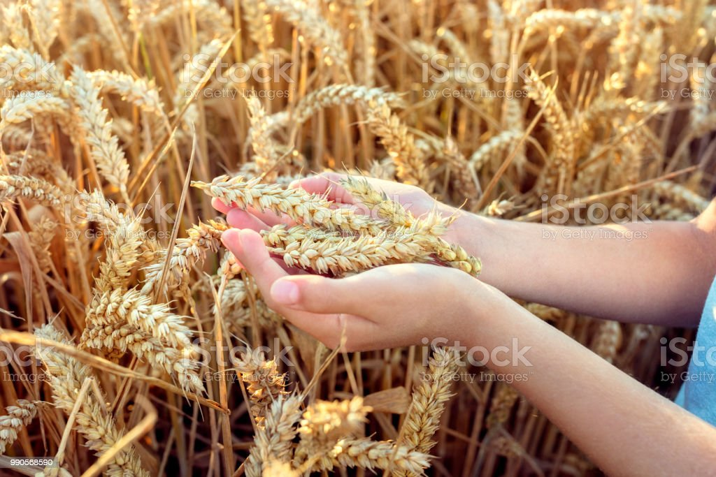 Child holding crop in wheat field stock photo