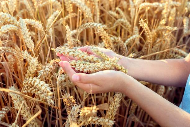 Kind Holding Ernte im Weizenfeld – Foto