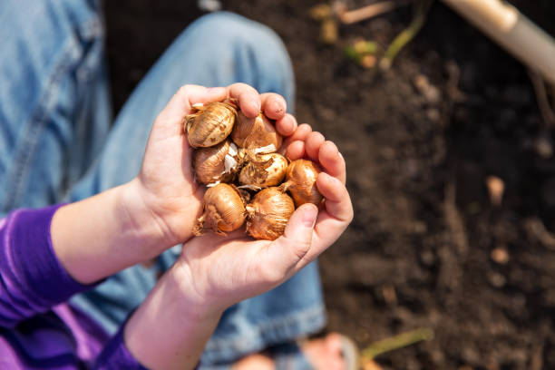 Child Holding Handful of Flower Bulbs Close-up of a young girl's hands as she holds a handful of flower bulbs she is about to plant in the garden. plant bulb stock pictures, royalty-free photos & images