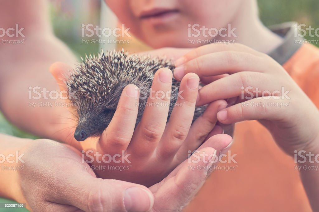 child holding small heeled hedgehog, nature care concept, toned image stock photo