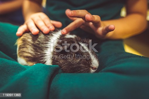 Cute little guinea pig sits in the lap of its child owner. Animal looks shy but content and curious while enjoying a pet from a child