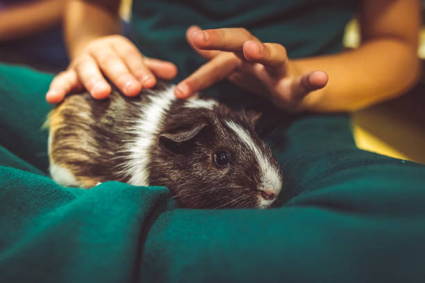 Child holds and pets a cute guinea pig stock photo