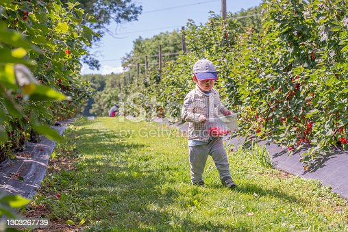 istock Child in the garden. One Asian boy walking with a basket of fruit. Self picking on a farm in a sunny day. Vevey, Switzerland. Red currant berries. Ribes rubrum. 1303267739