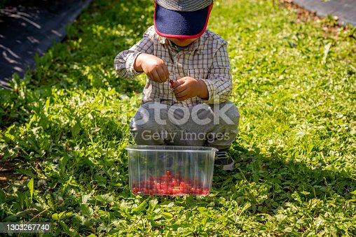 istock Child in the garden. One Asian boy with a basket of fruit in a sunny day. Self picking on a farm. Red currant berries. Ribes rubrum. Vevey, Switzerland. 1303267740