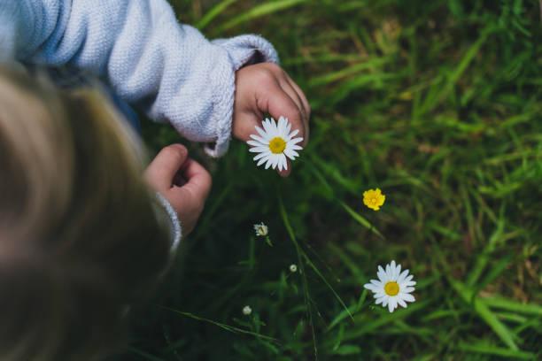 Un niño está sosteniendo flor de manzanilla en su foto de la mano - foto de stock