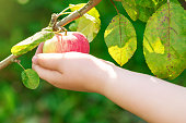 Close up of child picking apple in the orchard. Apple harvest.