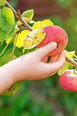 Closeup image of hand of child picking fresh red apple from tree branch in the garden. Apples harvesting.