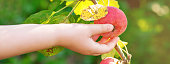 The child's hand picking an apple fruit on the tree in the garden. Apples harvesting.