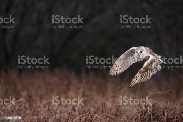 Child owl in flight picture id1209529678?b=1&k=6&m=1209529678&s=612x612&h=n3ddz3vfwzueoge4b  s5pf4dw3hegxncinjsaudcts=