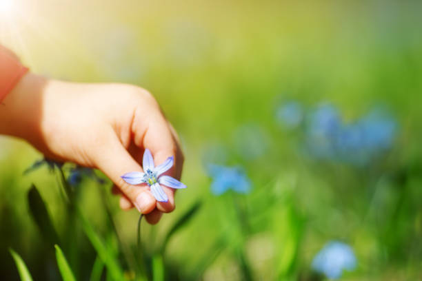 Child picking a scilla flower on beautiful spring day stock photo