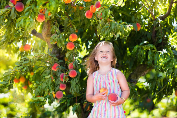child picking and eating peach from fruit tree - pesche bambino foto e immagini stock