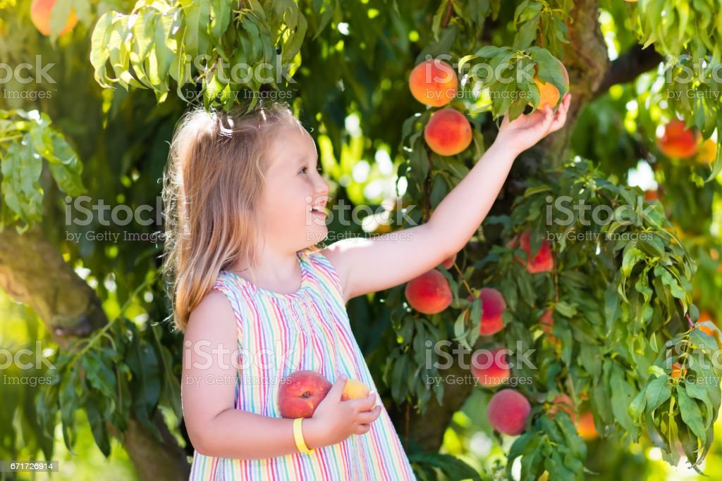 Child picking and eating peach from fruit tree stock photo