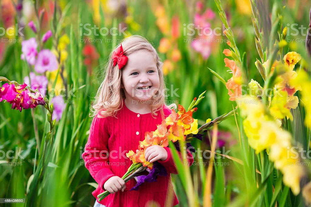 Child picking fresh gladiolus flowers stock photo