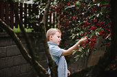 Cute blond boy picking cherries from tree