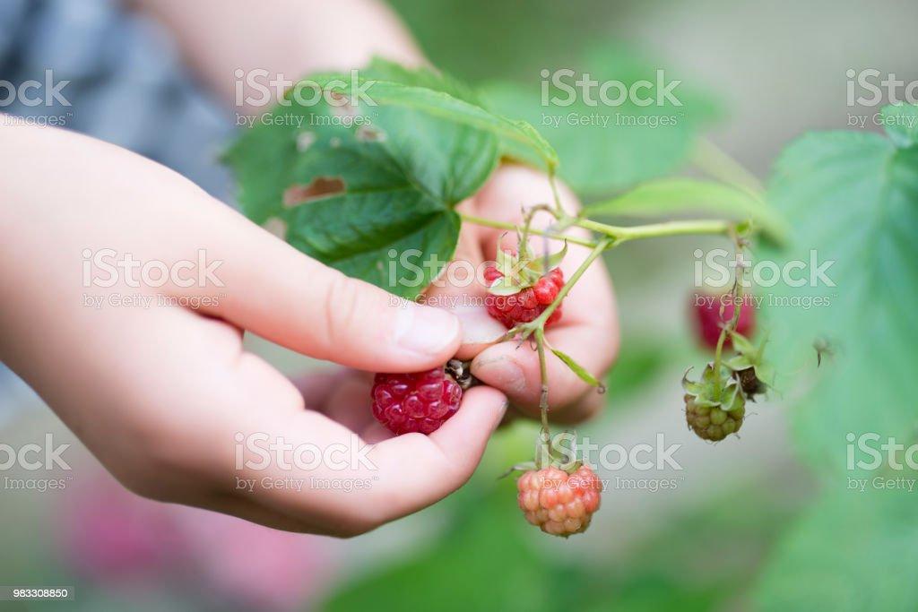 Child picks raspberry stock photo