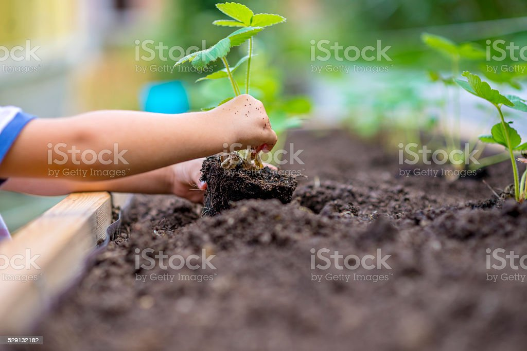 Child planting strawberry seedling in to a fertile soil stock photo