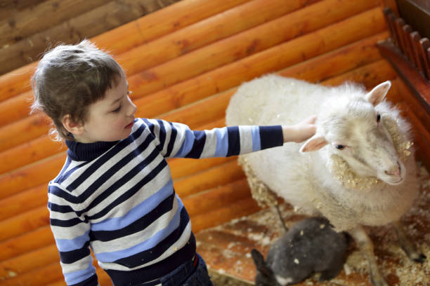 kind spielt mit lamm - vorschulzoothema stock-fotos und bilder