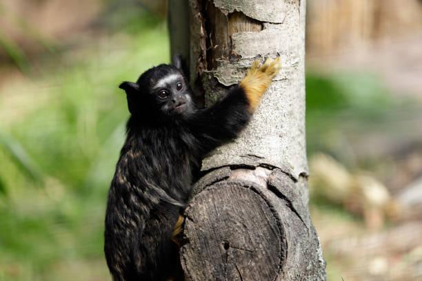 Kind rothändige Midas Tamarin New World Affe – Foto