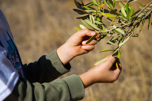 istock child Selecting the best olives from the tree 1067489848
