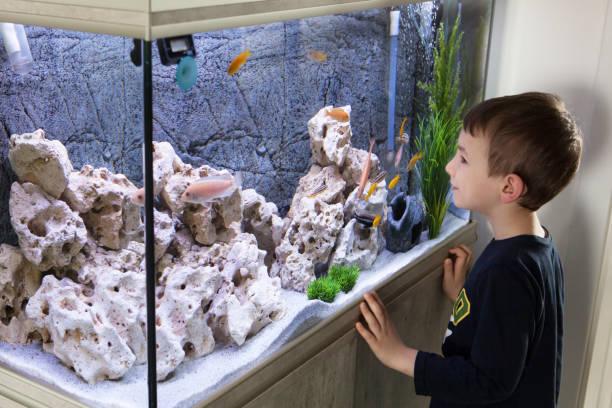child watching fish tank. aquarium with cichlids - home aquarium stock pictures, royalty-free photos & images