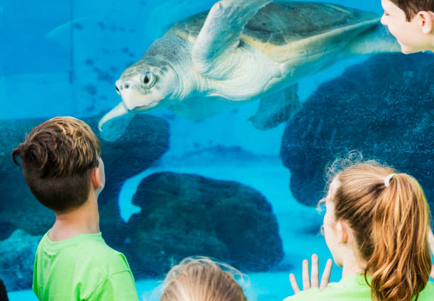 Children at aquarium looking at sea turtle A group of elementary school students on a field trip to a marine education park. They are looking through the underwater window of an large aquarium.  A sea turtle is looking back at them. aquarium stock pictures, royalty-free photos & images