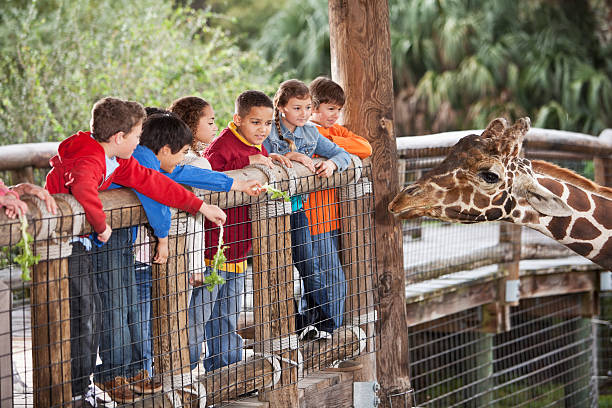 Children at zoo feeding giraffe Multi-ethnic group of children (7 to 11 years) at zoo feeding giraffe. zoo stock pictures, royalty-free photos & images