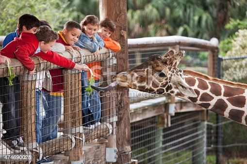 Multi-ethnic group of children (7 to 11 years) at zoo.  Focus on giraffe and boy in foreground feeding giraffe.